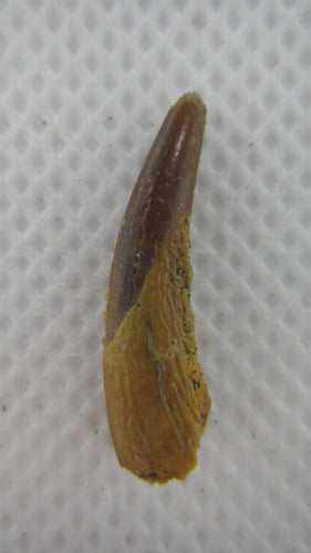 Pterosaur tooth from the Kem Kem beds of Morocco