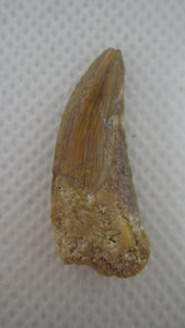 Deltadromeus (?) Tooth form the Kem Kem beds of morocco