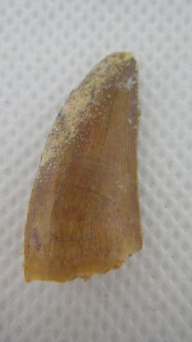 Abelisaur tooth from the Kem Kem Beds of Morocco
