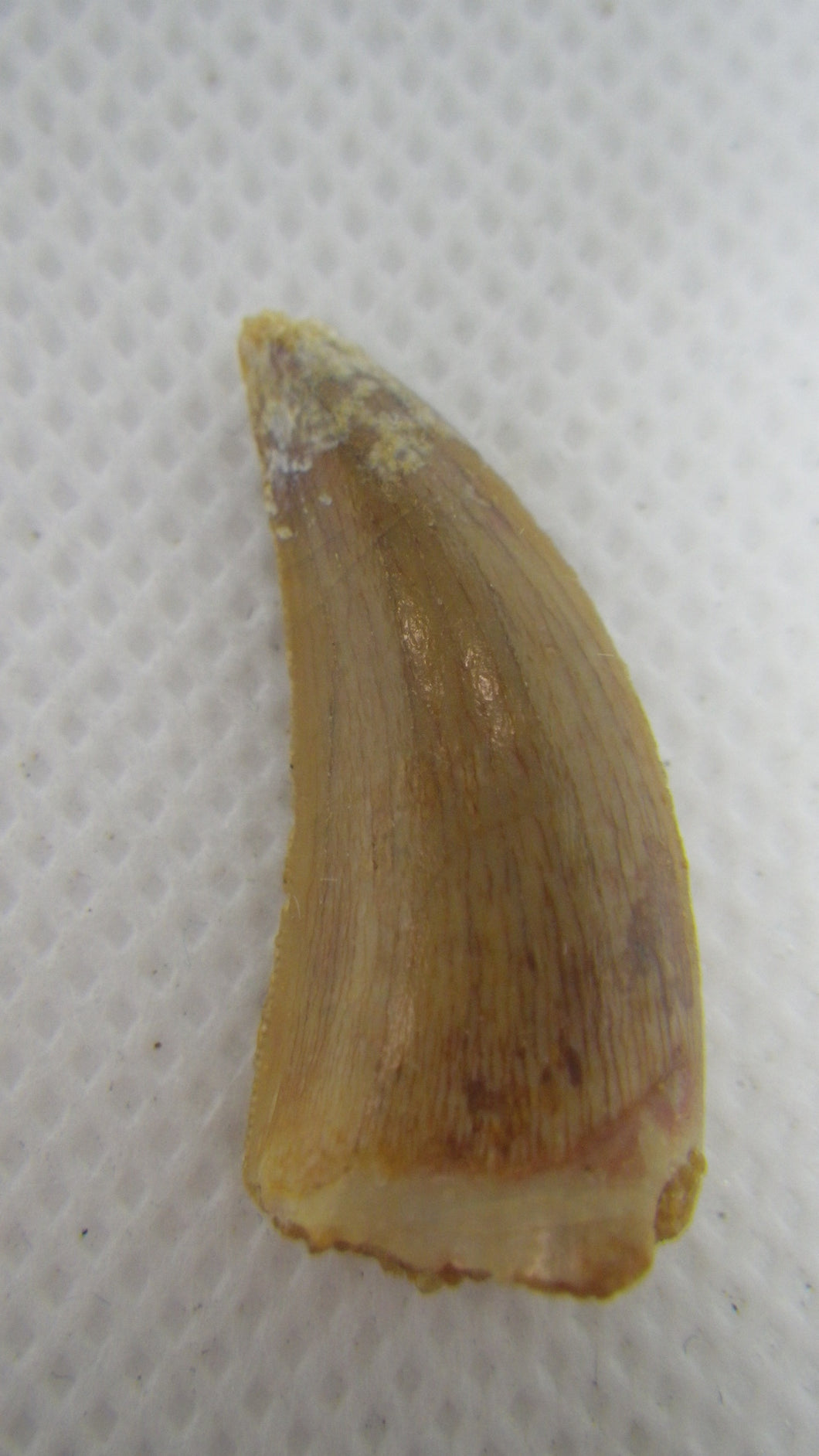 Deltadromeus (?) Tooth from the Kem Kem Beds of Morocco