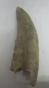 "Huge 2.9""Tyrannosaur Tooth from the Judith River Formation, Some Restoration"