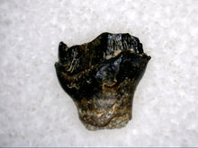 Load image into Gallery viewer, Nodosaur Tooth