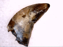 Load image into Gallery viewer, Dromaeosaurus Tooth