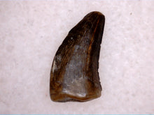 Load image into Gallery viewer, Small Raptor or Tyrannosaur Tooth