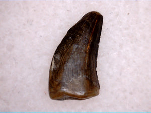 Small Raptor or Tyrannosaur Tooth