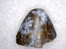 Load image into Gallery viewer, Tyrannosaur Tooth Tip