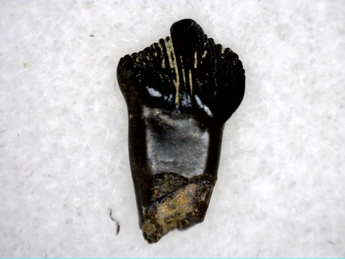 Rooted Pachycepahlosaurus tooth