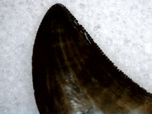 Load image into Gallery viewer, Tyrannosaur Tooth 5/8""