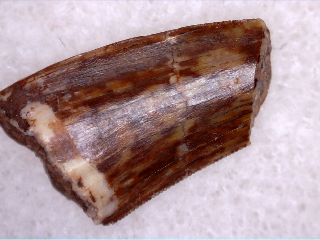 Triassic Dinosaur Tooth