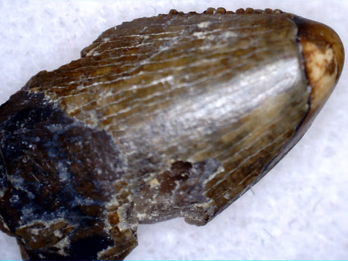 Tyrannosaurus (sp) Tooth, Upper Aguja Formation, Texas