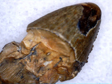 Load image into Gallery viewer, Tyrannosaur (sp) Tooth, Upper Aguja Formation, Texas