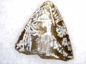 Tyrannosauridae (sp) Tooth from the Upper Aguja Formation.