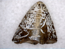 Load image into Gallery viewer, Tyrannosauridae (sp) Tooth from the Upper Aguja Formation.