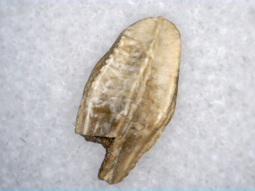 Hadrosaur Tooth, Judith River Formation