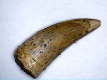 Load image into Gallery viewer, Rare Unknown Theropod Tooth Kem Kem