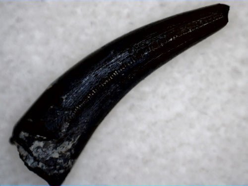 Unusual Phytosaur Tooth