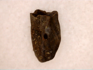 Hadrosaur (Likely Hypacrosaurus) Shed Tooth, Two Medicine Formation