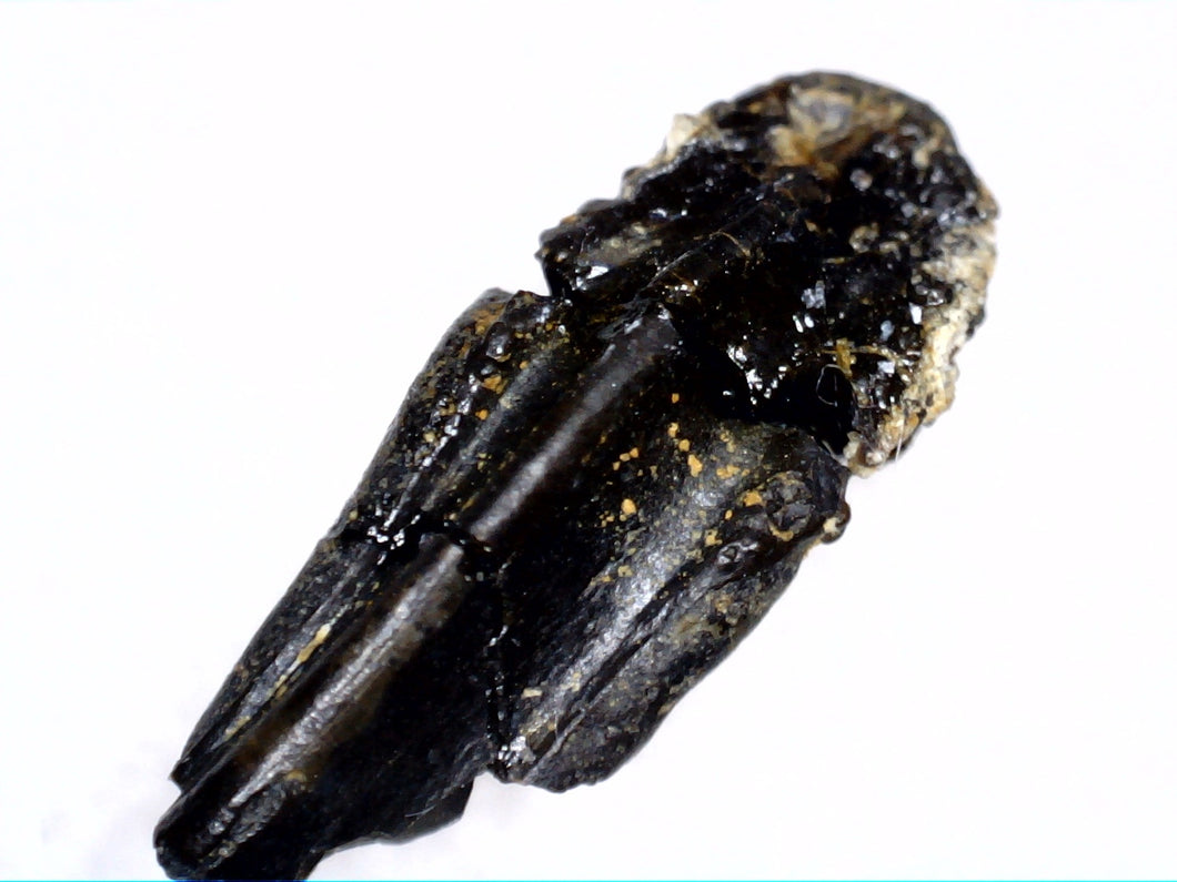 Hadrosaur (Likely Hypacrosaurus) Tooth, Two Medicine Formation