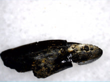 Load image into Gallery viewer, Hadrosaur (Likely Hypacrosaurus) Tooth, Two Medicine Formation