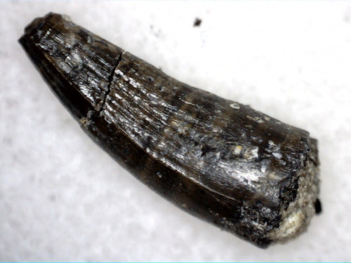 Crocodile Tooth, Morrison Formation