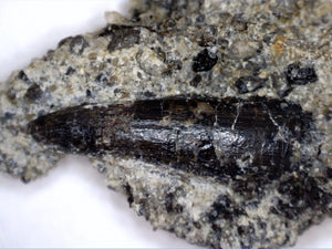 Crocodile Tooth in Matrix, Morrison Formation