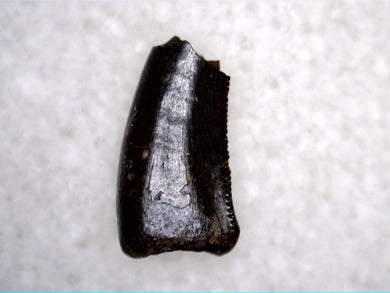 Small Acheroraptor Tooth