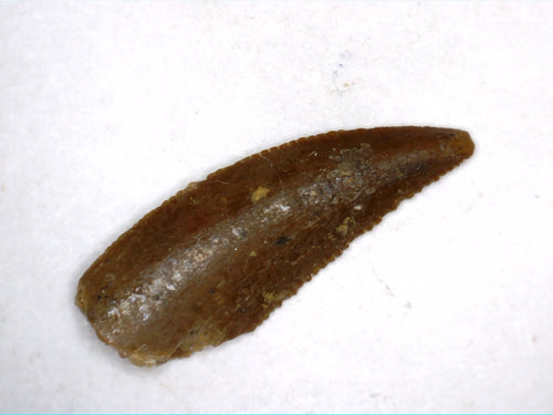 Unusual Theropod Tooth from the Kem Kem Beds of Morocco
