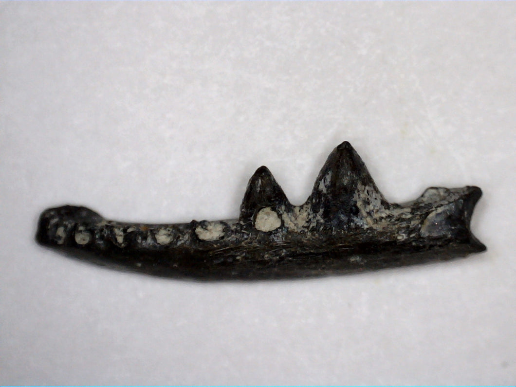 Euryodus Jaw Section, Permian