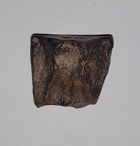 Ceratopsian Tooth