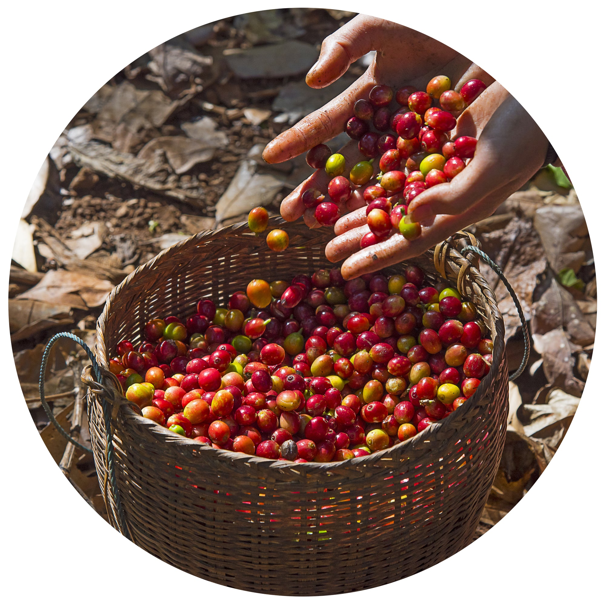 ripened coffee cherries being poured into a basket