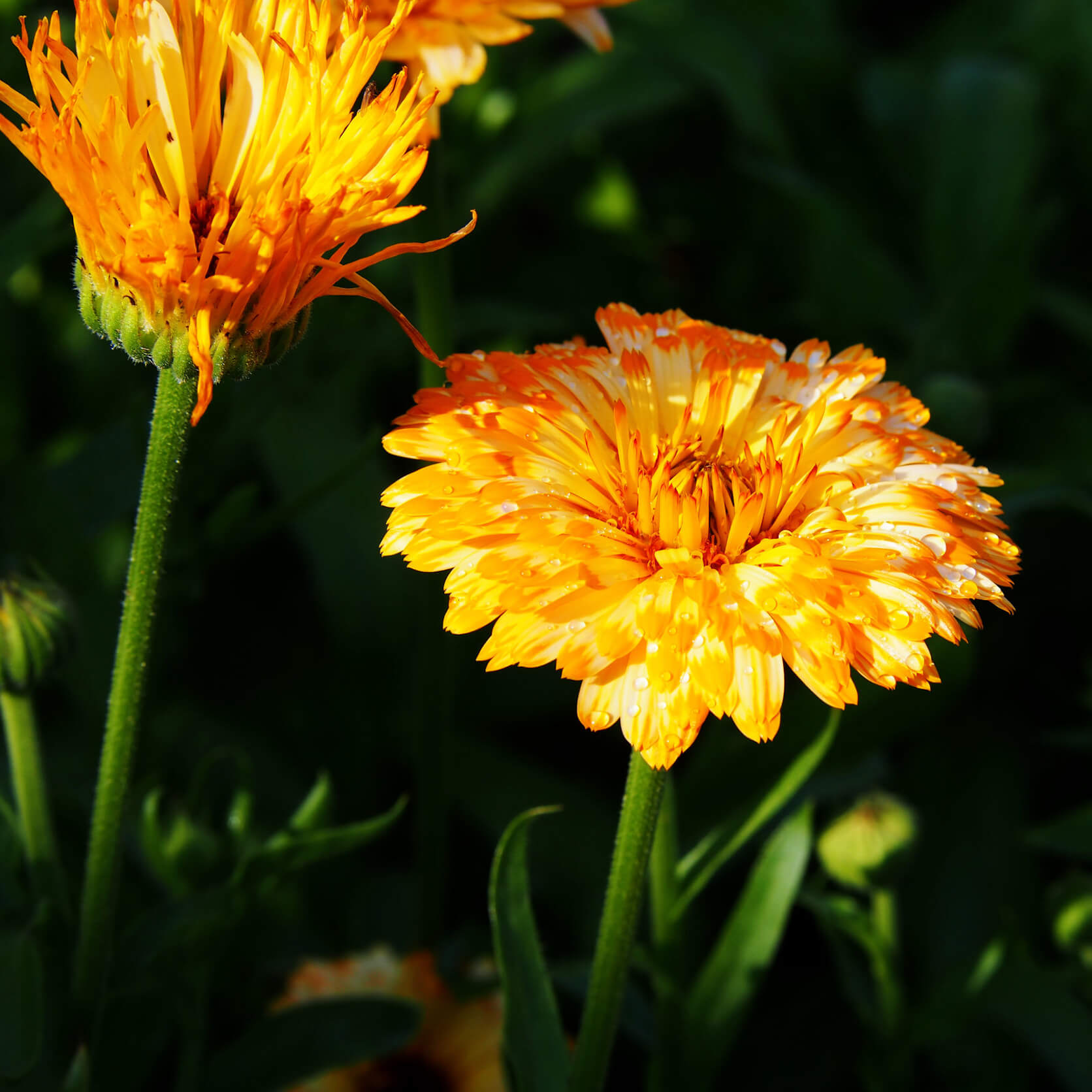 Battle Balm uses calendula flowers to help heal new tattoos and prevent infection from new ink.