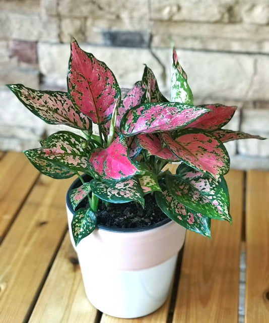 Aglaonema Favonian Rose