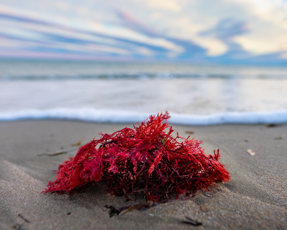 What are the Benefits of Purple Sea Moss?