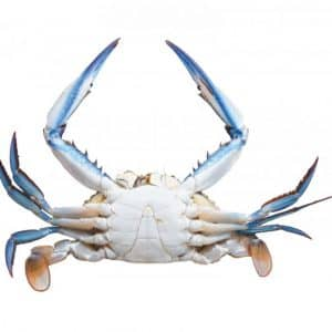 Australian Blue Swimmer Crab