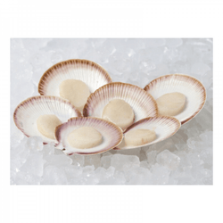 Australia Scallops in Shell