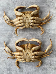Live California Dungeness Crab, 1.5-2.5 lb. avg.