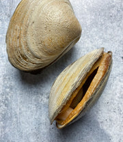 Live Cape Cod Surf Clams- 10 lbs