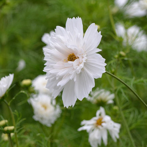 Cosmos Double Click Snow Puff Flower Seeds