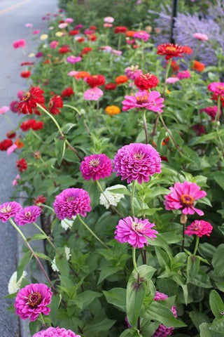 How to grow Zinnia Flowers from Seed in your backyard