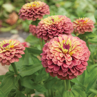Zinnia Red With Lime Flower Seeds
