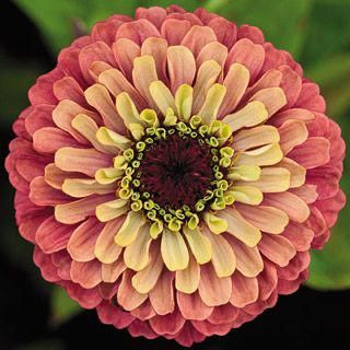 Zinnia Queen Red With Lime