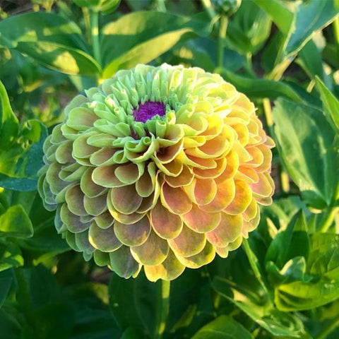 Zinnia Lime With Blush Flower Seeds