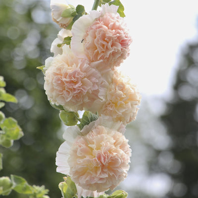Hollyhock Peaches and Dreams Flower Seeds