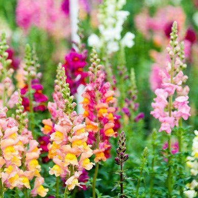 Snapdragon 'Tom Thumb Mix' Flower Seeds