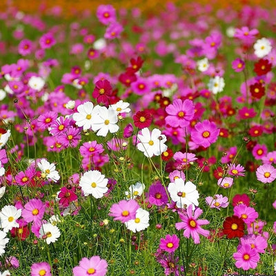 Cosmos Sensation Tall Mix Flower Seeds