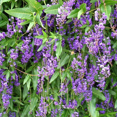 Native Wisteria Hardenbergia Comptoniana Seeds
