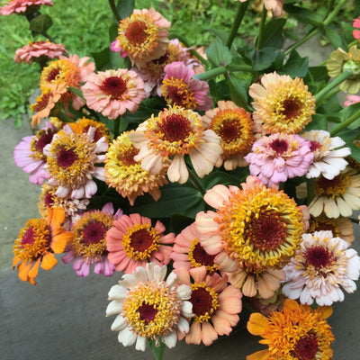 Zinnia Scabiosa Double Mixed Flower Seeds
