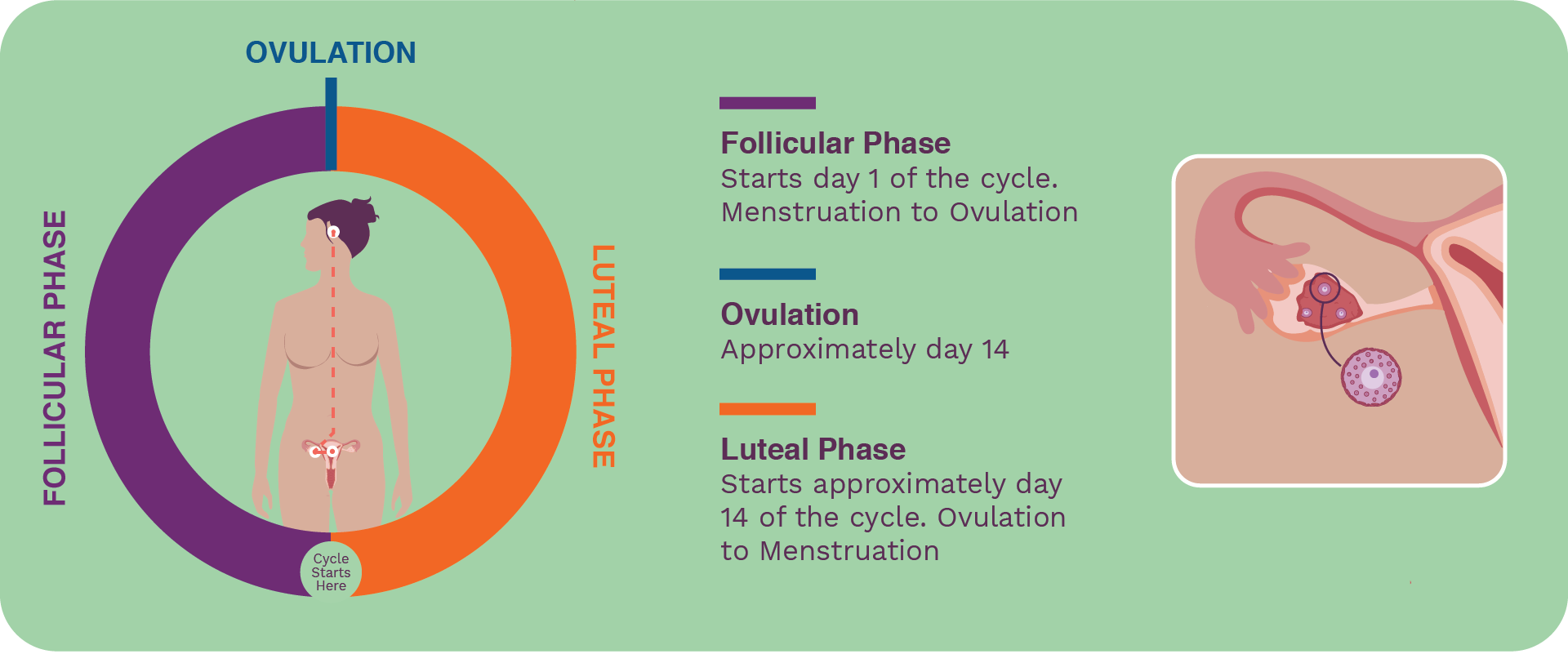 Seed-cycle-blend-ready-to-use-seed-cycling-ovarian-cycle.
