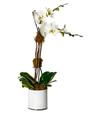 A double-stem white phalaenopsis orchid plant potted elegantly with moss in a glass cube vase.
