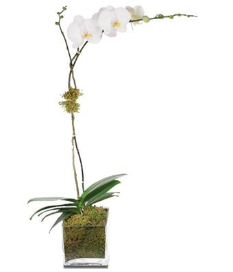 A single stem white phalaenopsis orchid plant potted elegantly with moss in a chic glass vase.